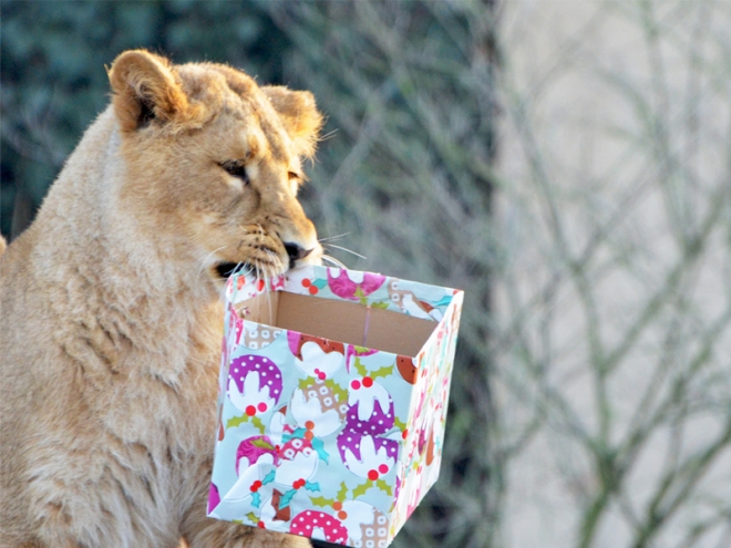 Lion cub enjoying Christmas 2012 at ZSL London Zoo