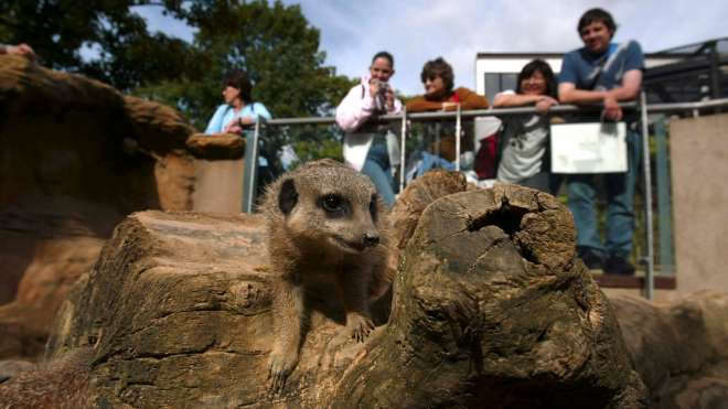A meerkat being admired at ZSL London Zoo