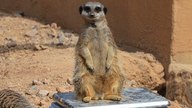 Meerkat at ZSL London Zoo Weigh-in 2012