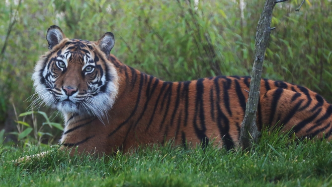 Melati, a Sumatran Tiger, at ZSL London Zoo.