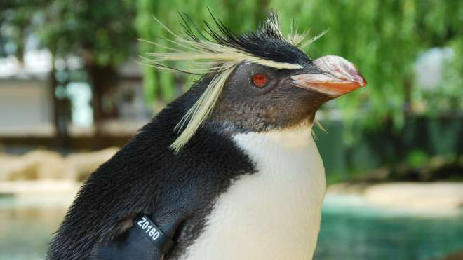 Ricky the penguin at ZSL London Zoo