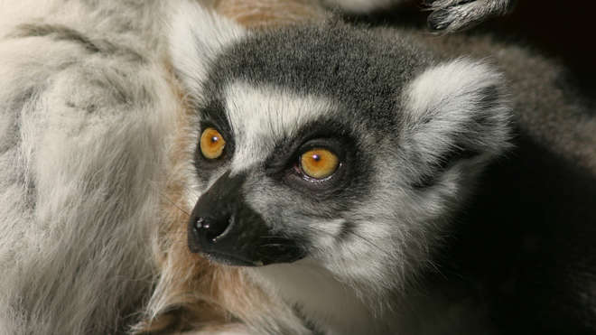 A Ring Tailed Lemur at ZSL London Zoo