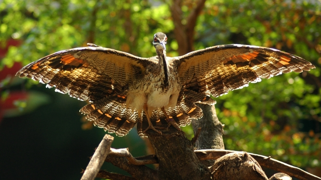 A sunbittern at ZSL London Zoo.