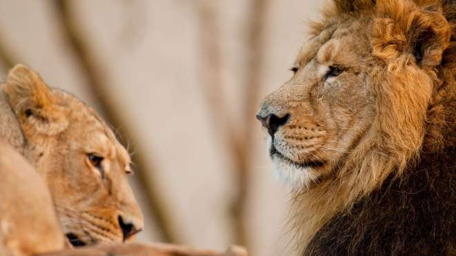 Lucifer the lion with a lioness at ZSL London Zoo.