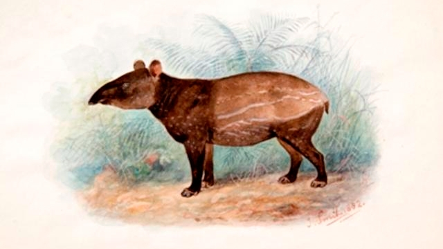 Young Indian tapir, watercolour by Joseph Smit. 1882.