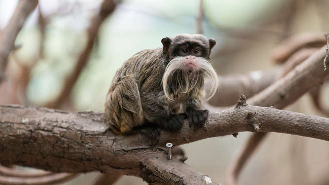 An emperor tamarin at ZSL London Zoo
