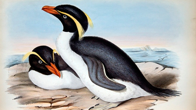 Two penguins in a drawing John Gould, 1848