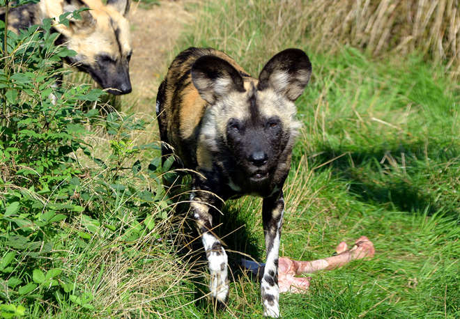 A African Hunting Dog at ZSL London Zoo