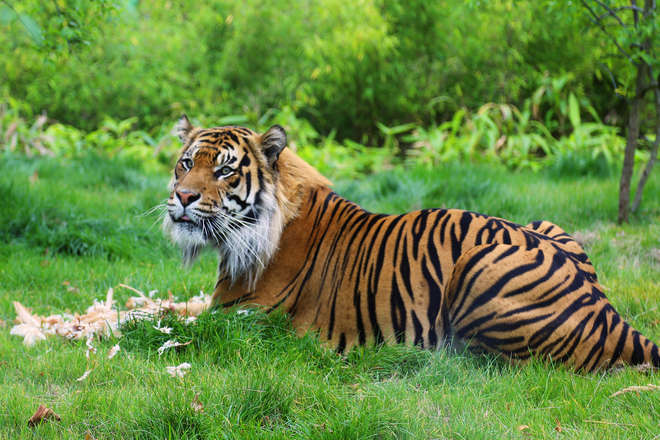 Jae Jae the Sumatran Tiger eating at ZSL London Zoo