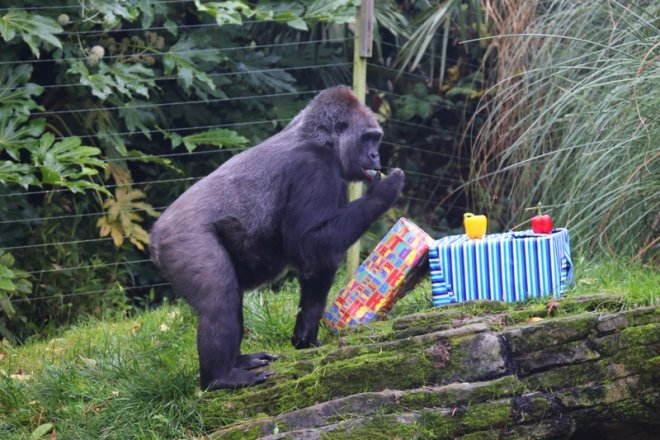 Effie the gorilla - Kumbuka's birthday 2013 at ZSL London Zoo
