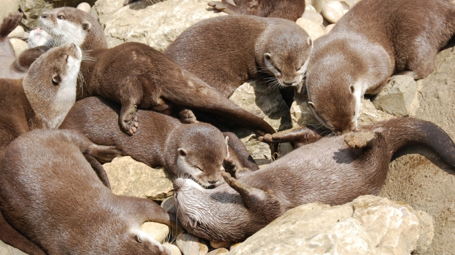 Otters basking in the sun at ZSL London Zoo
