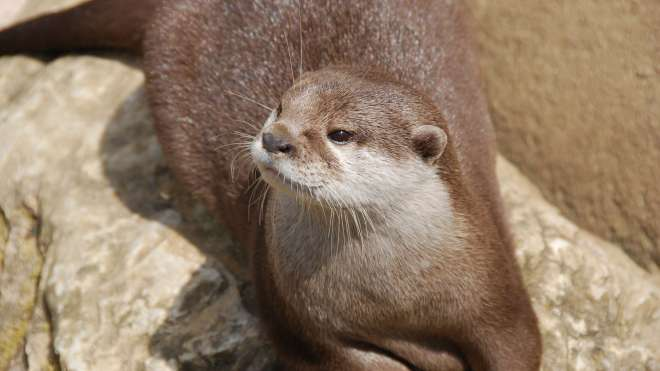 Close-up of an otter at ZSL London Zoo