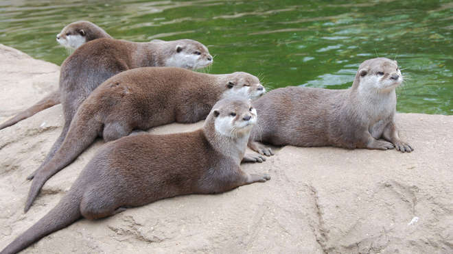 A group of otters at ZSL London Zoo