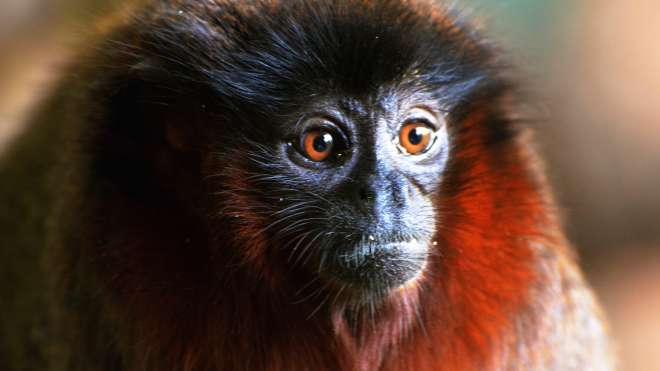 A close-up of a red titi monkey at ZSL London Zoo.