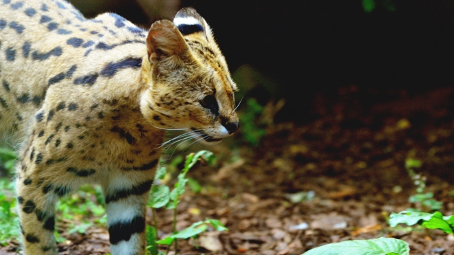A serval at ZSL London Zoo