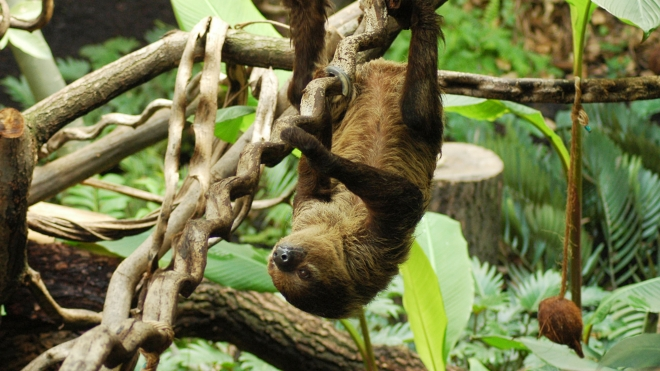 A sloth eating at ZSL London Zoo.