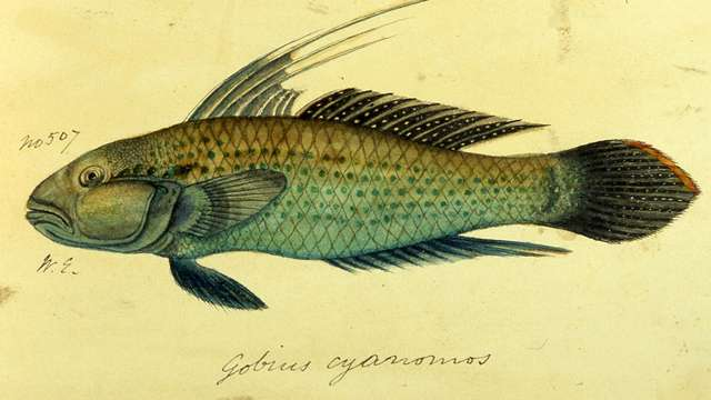 F. Day – Indian Fish c1860