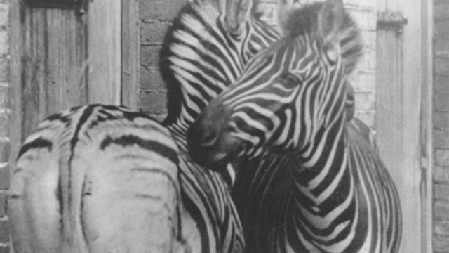 A pair of burchell zebra at ZSL London Zoo by T.J. Dixon circa 1885
