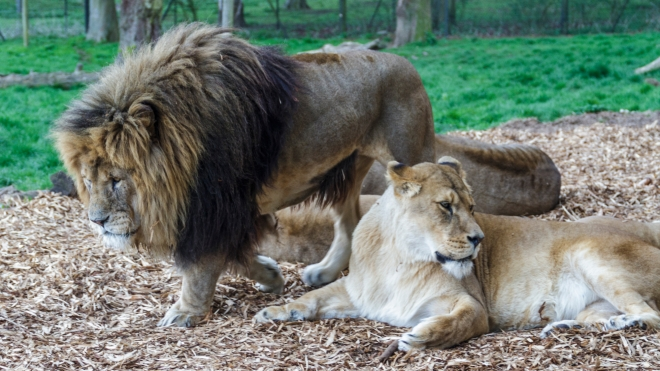 Spike the african lion with a lioness