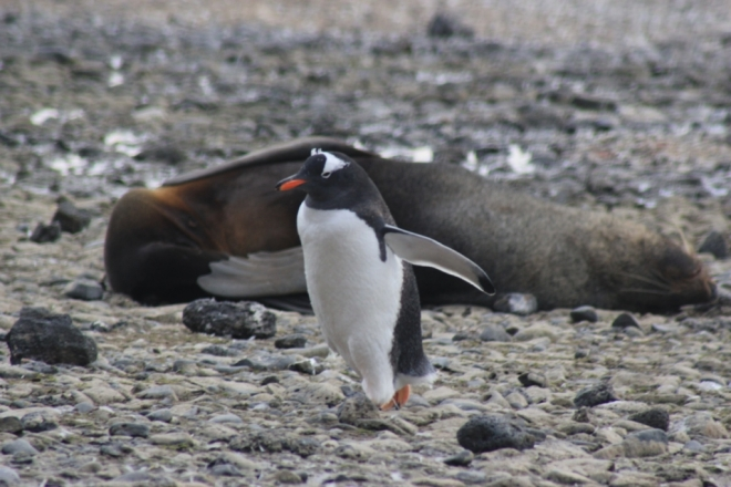 Gentoo penguin and fur seal