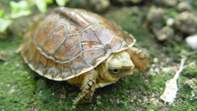 A Mccord's Box Turtle hatchling