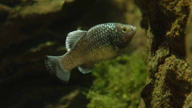 Charco La Palma Pupfish at the ZSL London Zoo Aquarium.