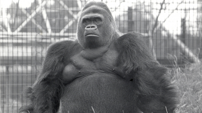 Guy the Gorilla photographed in ZSL London Zoo, 1970.