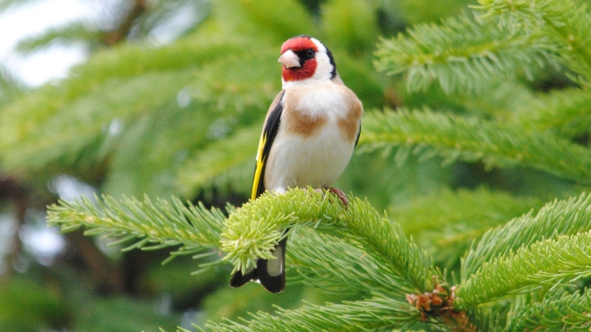 Healthy Goldfinch