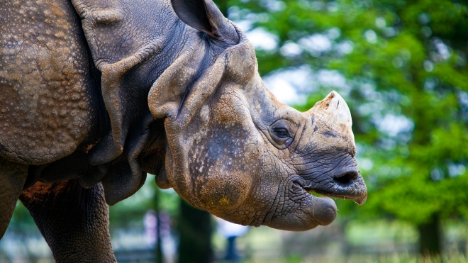 Cheaply asian one horned rhino think