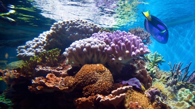 A Regal Tang fish in the Bugs! exhibit at ZSL London Zoo