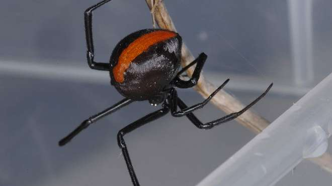 A Redback Spider, Latrodectus hasselti, in the Bugs! exhibit at ZSL London Zoo.