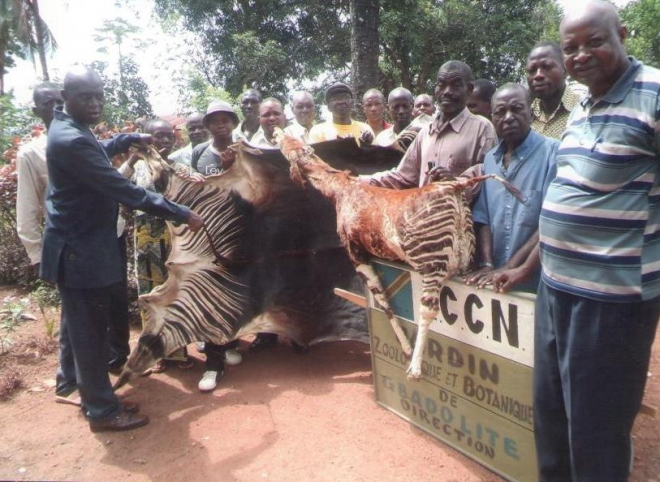 Two recently killed okapi near Gbadolite
