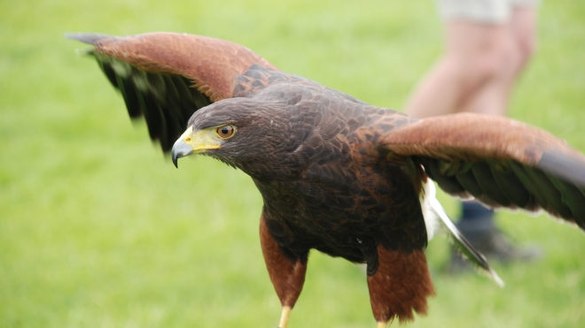 A hawk at ZSL Whipsnade Zoo