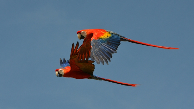 Green-winged Macaws flying at ZSL Whipsnade Zoo