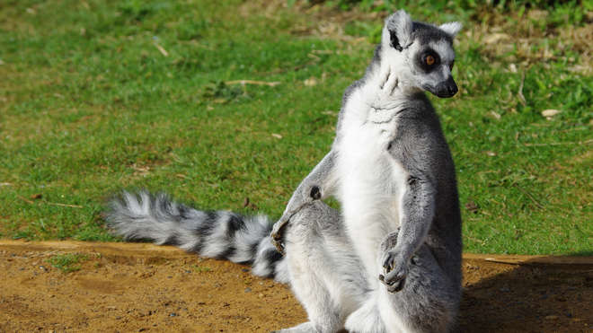 8 Things You Need to Know About Lemurs!