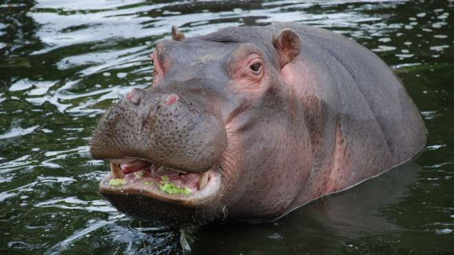 Common Hippopotamus at ZSL Whipsnade Zoo