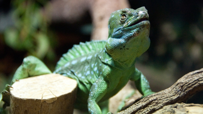Plumed Basilisk at ZSL Whipsnade Zoo