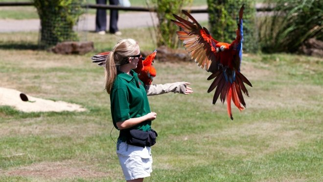 Scarlet Macaws during a bird display at ZSL Whipsnade. Keeper