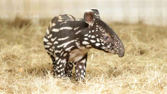 Baby tapir Adi in his den at ZSL London Zoo.