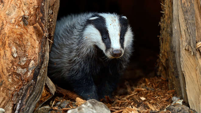 Photo - Close-up photo of a badger looking out of a hole in a tree trunk.