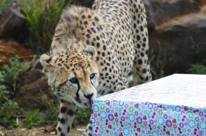 Cheetah licking birthday present