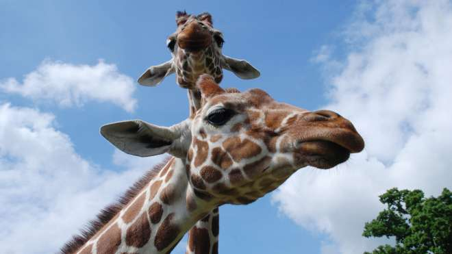 Giraffes at ZSL Whipsnade Zoo