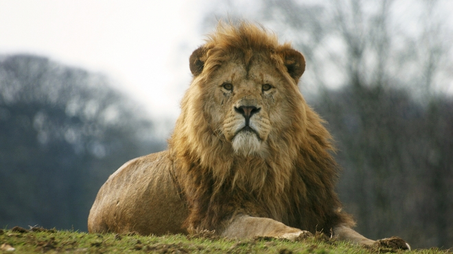 Male African lion at ZSL Whipsnade Zoo