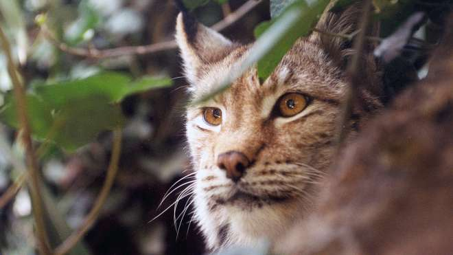 Lynx at ZSL Whipsnade Zoo