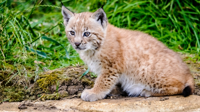 Lynx kitten at ZSL Whipsnade Zoo