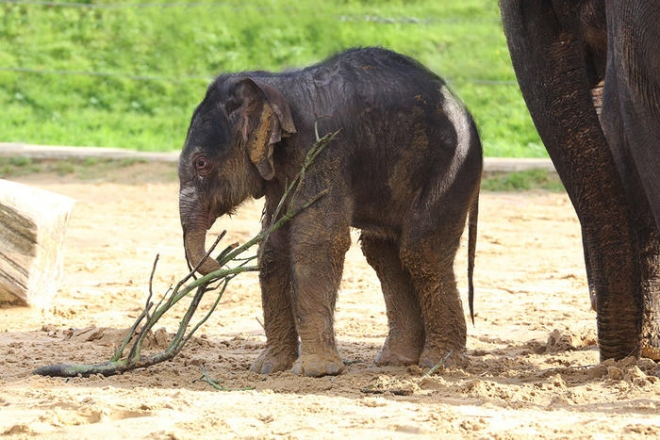Max Asian elephant calf