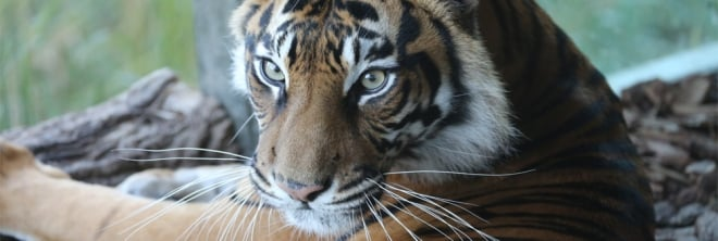 Melati the Sumatran tiger banner
