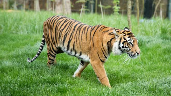Female Sumatran tiger at ZSL London Zoo
