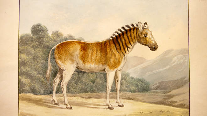 Equus quagga by Charles Hamilton Smith (1776-1859)