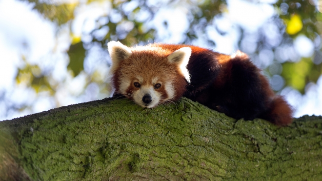 Red panda at ZSL Whipsnade Zoo